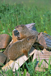 Woodchucks on wood {Marmota monax} captive Minnesota, USA  -  Lynn M Stone