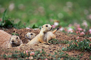 Black tailed prairie dogs at burrow entrance{Cynomys ludovicianus} Colorado, USA  -  Nigel Bean
