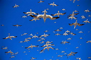 Gannet {Morus bassanus} flock in flight over nest colony site, Bass Rock , Scotland  -  Nigel Bean
