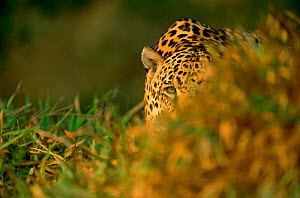 Jaguar, male in grass {Panthera onca} captive Pantanal, Brazil NOT AVAILABLE FOR ADVERTISING  -  Staffan Widstrand