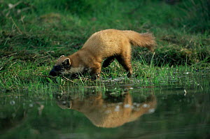 Pine marten at water {Martes martes} Germany - Dietmar Nill
