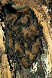 Noctule bats roosting {Nyctalus noctula} Germany - Dietmar Nill