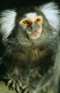 Tufted ear marmoset {Callithrix jacchus jacchus} captive, from South America  -  Dietmar Nill