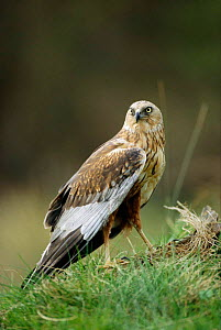 Marsh harrier {Circus aeruginosus} Germany - Dietmar Nill