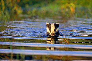Badger swimming {Meles meles} Germany - Dietmar Nill
