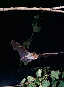 Bechstein's bat in flight {Myotis bechsteinii} Germany - Dietmar Nill