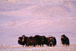 RF- Musk oxen (Ovibos moschatus) on tundra. Ellesmere Island, Canada. (This image may be licensed either as rights managed or royalty free.) - Staffan Widstrand
