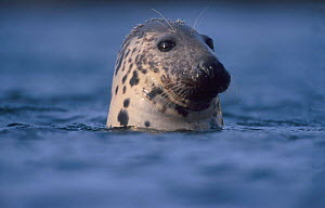 Grey Seal watching from water {Halichoerus grypus}  -  Niall Benvie