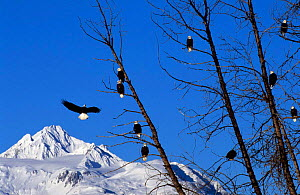 American bald eagles in trees {Haliaeetus leucocephalus} Chilkat, Alaska, USA  -  John Downer