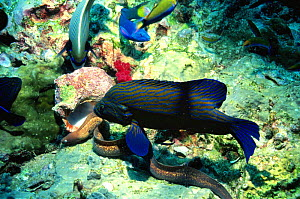 Blue lined coral grouper {Plectropomus oligacanthus} follows foraging Moray eel on coral reef, Indonesia  -  Georgette Douwma