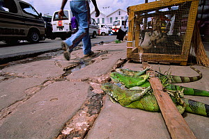 Green iguanas for sale for food, Starbroak market Georgetown, Guyana, South America  -  Pete Oxford