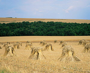 Corn stooks drying in field - Straw to be used for thatching, Lower Perwood farm, Wiltshire, UK.  -  David Kjaer