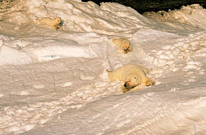 Polar bear mother and cubs sliding down slope {Ursus maritimus} Canadian Arctic  -  DOC WHITE