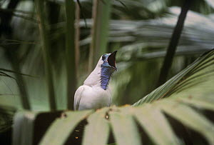 Bare throated bellbird {Procnias nudicollis} perched, calling, Brazil, Vulnerable species  -  Nick Gordon