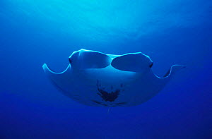 Underside view of Manta Ray {Manta birostris} Mexico, - DOC WHITE