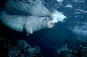 Northern elephant seal underwater breathing out at sea surface, off Mexico, Central America  -  DOC WHITE