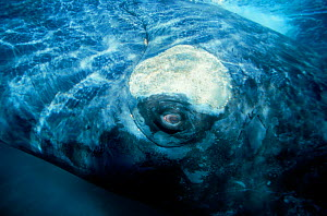 Southern right whale close up underwater, off Patagonia, S. America - DOC WHITE