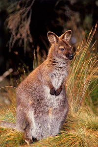 Red necked wallaby with joey hidden in pouch. Sequence 1of 2 Australia  -  John Cancalosi