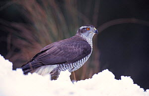 Female Northern goshawk in snow {Accipiter gentilis}, captive, Montrose, Angus Scotland  -  Niall Benvie