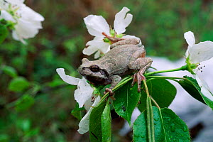 Japanese tree frog {Hyla japonica} in flowering tree northern Ussuriland, Russia  -  Konstantin Mikhailov