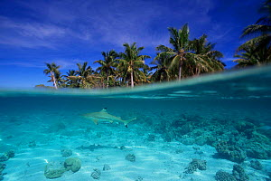 Split level view of Black tip reef shark {Carcharhinus melanopterus}, French Polynesia - JEFF FOOTT