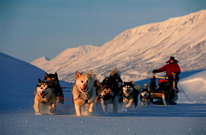 Dogs pulling tourist sledge Spitzbergen, Svalbard, Norway  -  Staffan Widstrand