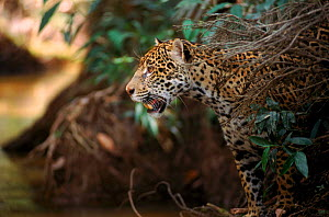 Jaguar female at edge of creek {Panthera onca}, Amazonia Basin, Brazil. Captive.  -  Nick Gordon