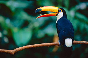 Toco toucan in tree {Ramphastos toco} Pantanal, Brazil  -  Staffan Widstrand