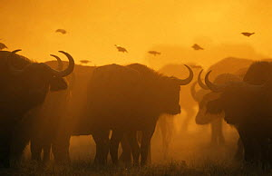 African buffalo silhouetted at dawn {Syncerus caffer} Moremi NP, Botswana  -  Tony Heald