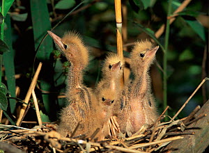 Little bittern chicks in nest. River Po, Italy {Ixobrychus minutus}  -  Angelo Gandolfi