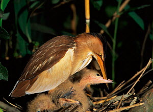 Little bittern female +and chick beak holding, begging food. River Po, Italy {Ixobrychus minutus}  -  Angelo Gandolfi