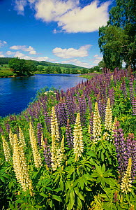 Garden Lupins {Lupinus polyphyllus} naturalised beside River Spey, Grantown-on-Spey, Scotland - Brian Lightfoot