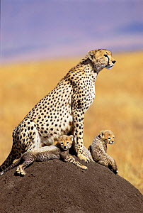 Cheetah with 3 month cubs on termite mound {Acinonyx jubatus} Maasai Mara, Kenya - Peter Blackwell
