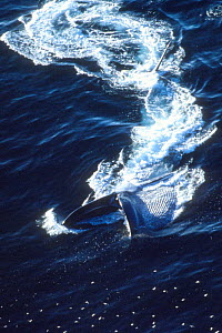 Blue Whale surface feeding, aerial shot, off Mexico, C America  -  DOC WHITE