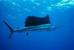 Pacific sailfish {Istiophorus platypterus} Cocos Islands, off Costa Rica  -  Jeff Rotman (Avi Klapfer)