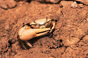 Fiddler crab {Uca genus} Coroni Swamp, Guyana, Caribbean.  Note large claw - Pete Oxford