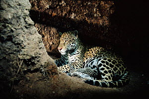 Jaguar female and 4-day-old cub in birth den {Panthera onca} Amazonia, Brazil, South America. Captive. - Nick Gordon