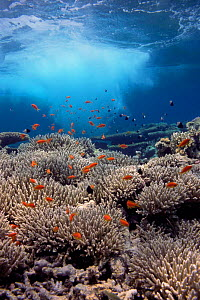 Coral reef scenery, shallow reef with wave and Anthias fish, Red Sea  -  Georgette Douwma