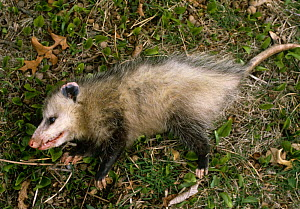 Common opossum {Didelphis marsupialis} playing dead as defence strategy  -  Phil Savoie