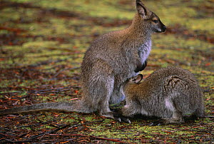 Bennett's / Red necked wallaby {Macropus rufogriseus rufogriseus} suckling, Clair National Park, Australia.  -  Steven David Miller