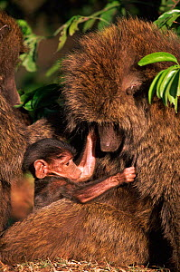 Baby Olive baboon with mother, Kenya - Anup Shah