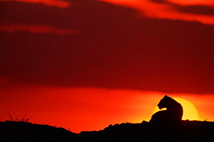 Lioness silhouetted against sunset, Masai Mara, Kenya  -  Anup Shah
