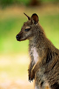 Bennett's / Red  necked wallaby {Macropus rufogriseus} captive, Tasmania, Australia.  -  Pete Oxford