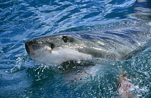 Great white shark at surface attracted to bait (Carcharodon carcharias) South Africa - Conrad Maufe