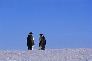Two Emperor penguins on ice {Aptenodytes forsteri} Flutter EP rookery, Antarctica - Pete Oxford