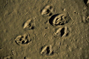Weasel tracks showing hairs on feet {Mustela nivalis} Camargue, France  -  Jean E. Roche