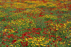 Wildflower meadow with Poppies {Papaver sp}  and Chrysanthemums, Majorca, Balearic Islands  -  Martin Gabriel