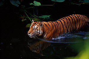 Sumatran tiger in water, native to SE Asia  -  Lynn M Stone