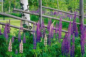 Lupins {Lupinus nootkatensis} in flower by birch tree trunk, Sweden, summer, Scandinavia - Bjorn Forsberg