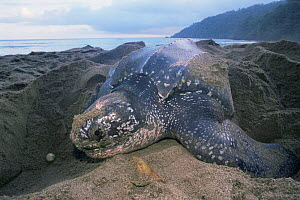 Leatherback turtle female {Dermochelys coriacea} Grand Riviere, Trinidad  -  Pete Oxford